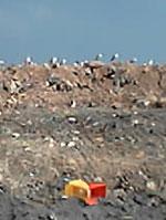 landfill_seagulls.jpg